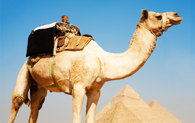 Interesting & Amazing Facts About Camels