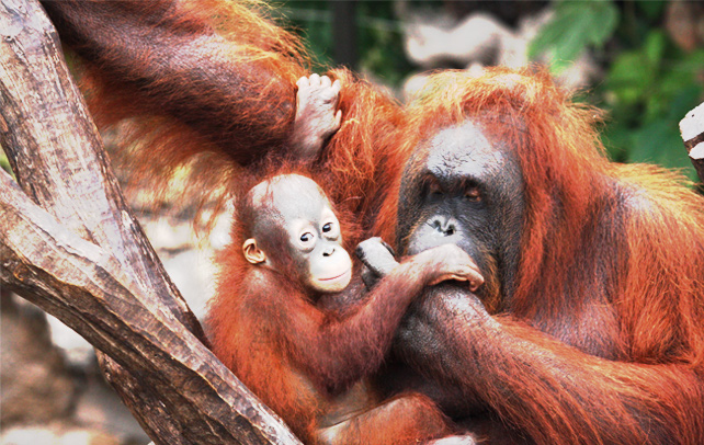 Interesting & Amazing Facts About Orangutan