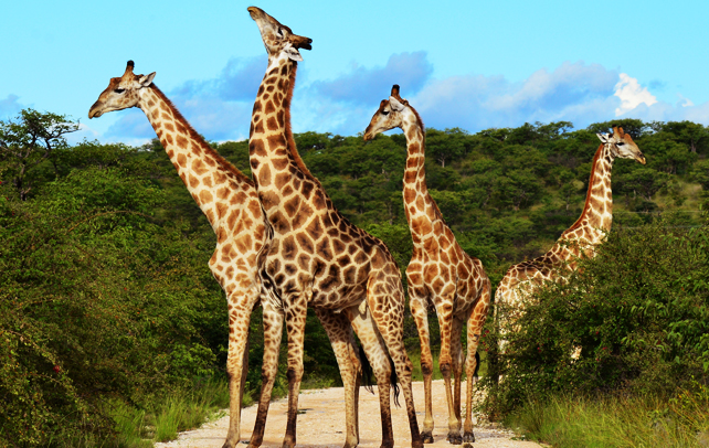 Interesting And Fun Facts About Giraffe