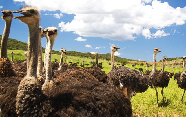 Fun Facts For Kids Ostriches