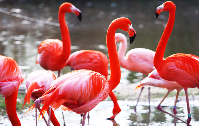 Interesting And Fun Facts About Flamingos - photo#50