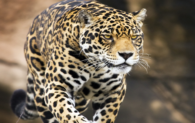 Marvelous Best Known To Resemble Leopard, A Jaguar Is Larger And Of Muscular Built  And Its Behaviour Is Closer To That Of A Tiger. It Has A Solid Body, Big  Head, ...