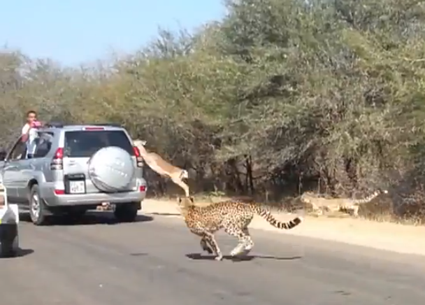 cheeta-chase