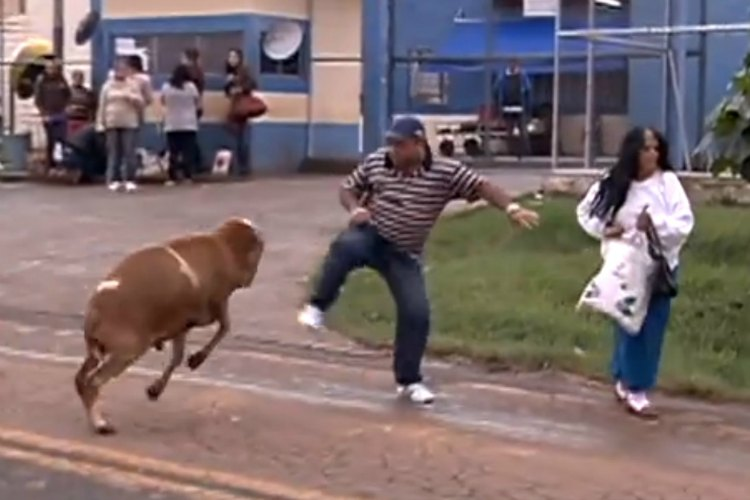 angry_goat_attacks_people_in_brazil_2