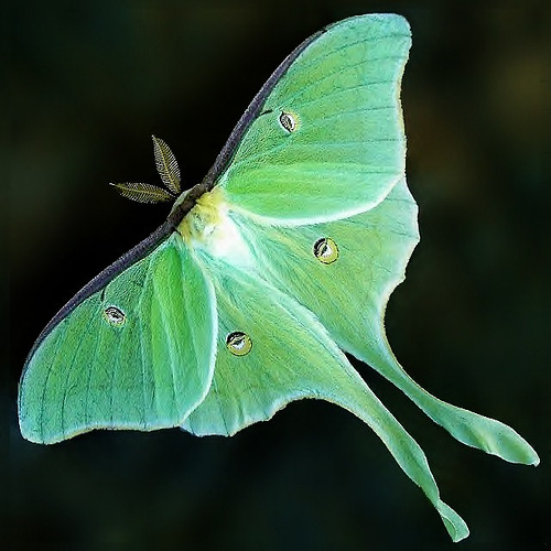 The Rare & Beautiful Luna Moth