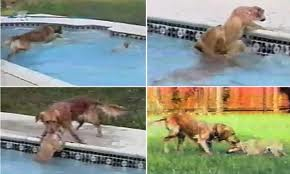 Dog Saves Her Puppy From Drowning in Pool