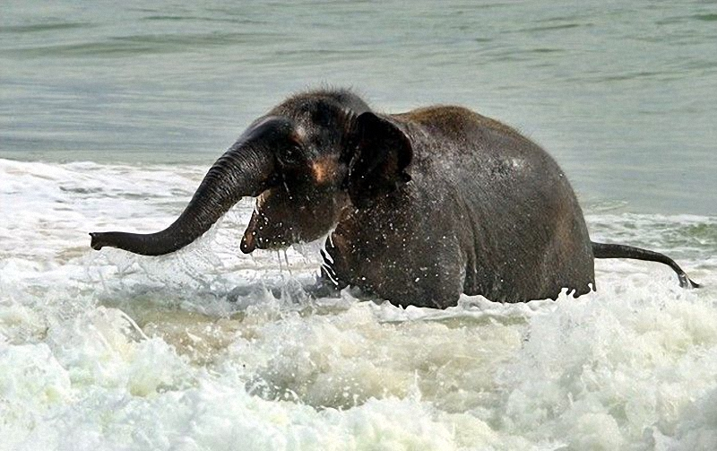 Baby Elephant Visits The Beach