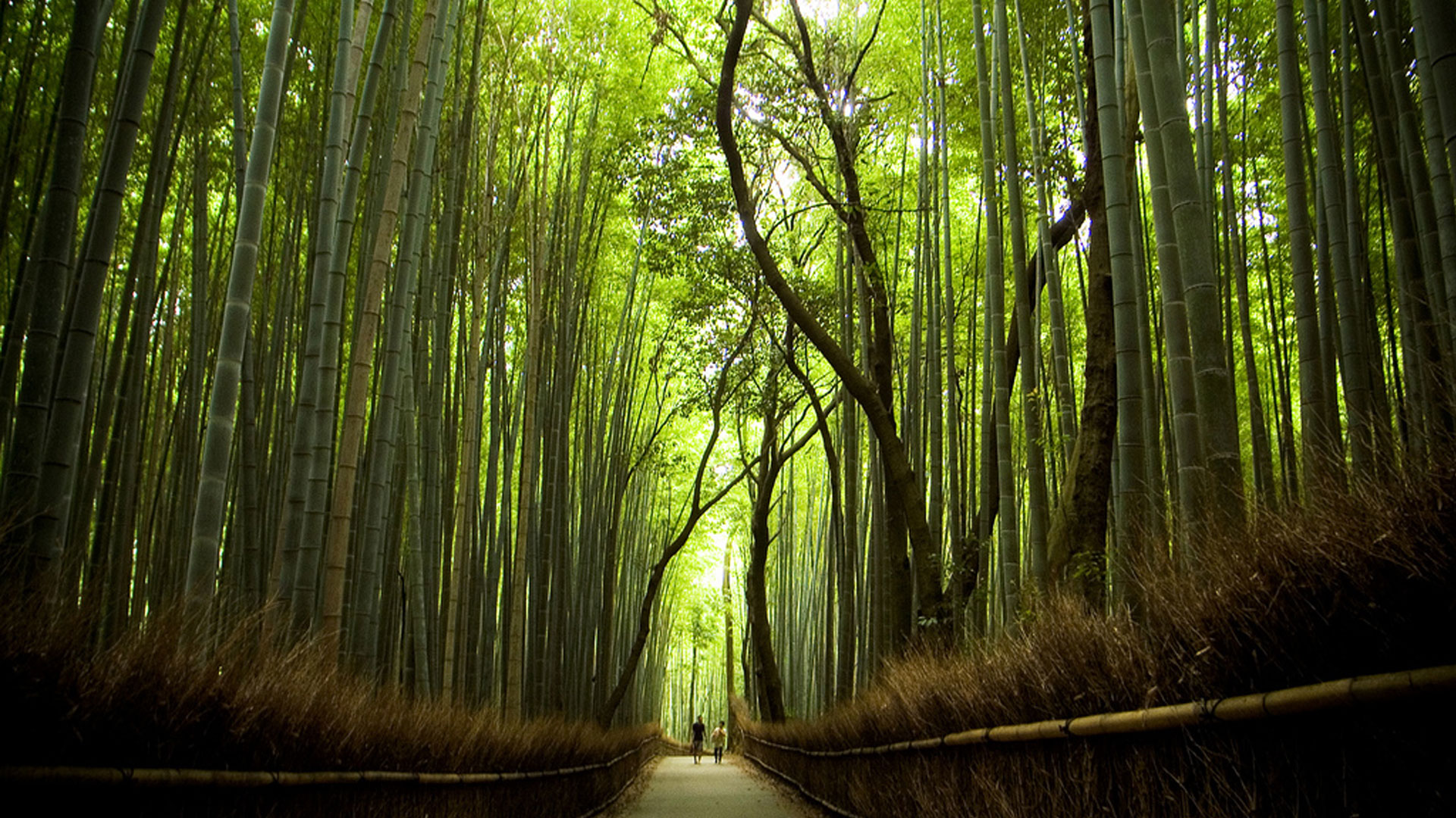 Bamboo Forest Near Kyoto Japan