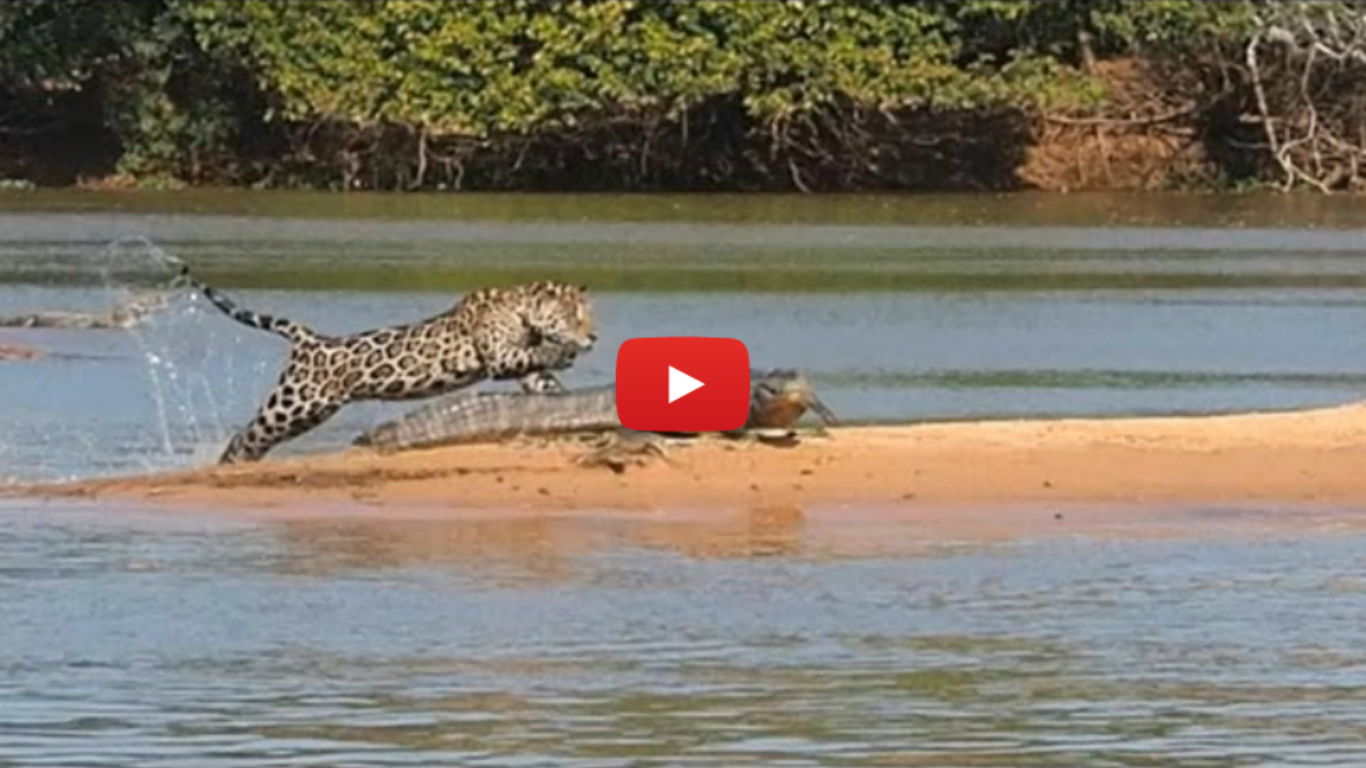 Jaguar Tries To Make A Meal Out Of A Crocodile