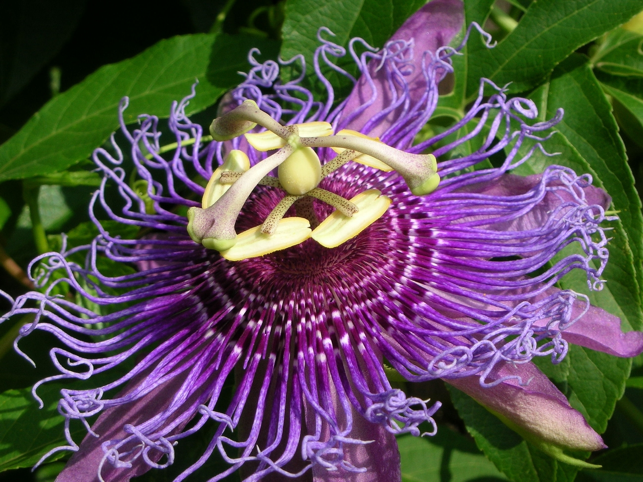 The Passion Flower - Beautiful & Useful