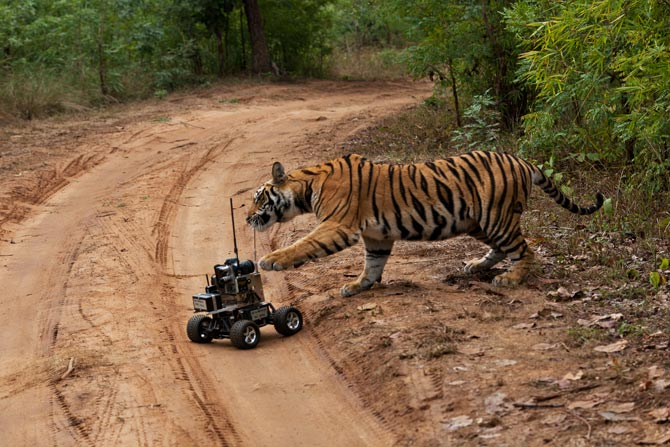 When A Wild Tiger Meets A Small Car