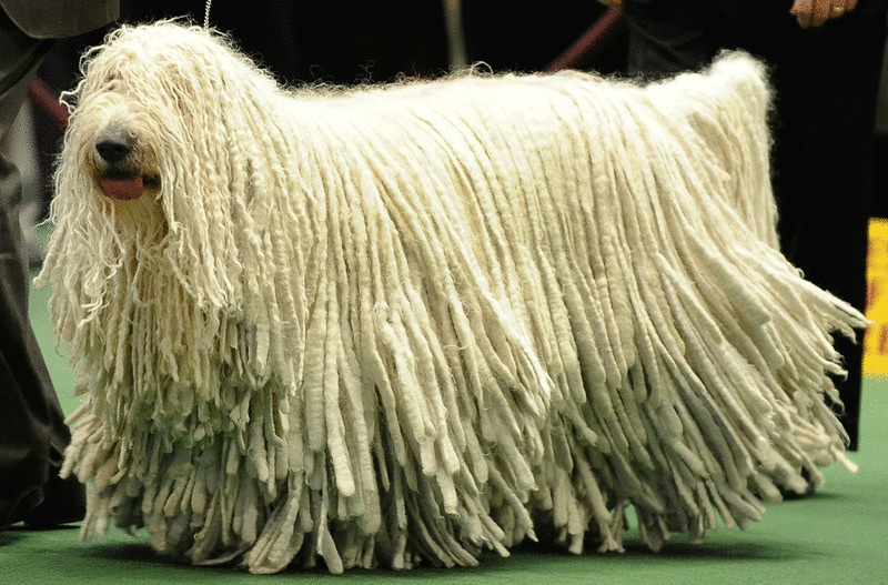 The Komondor Dog