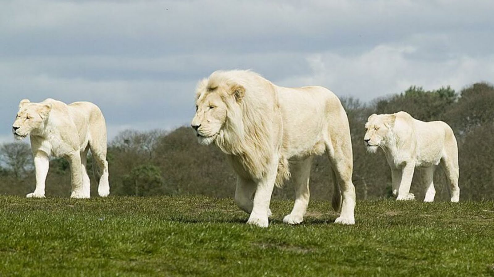 Facts About Rare Albino Lions