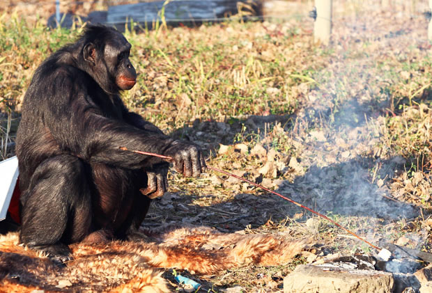 Kanzi - The Chimp That Can Cook