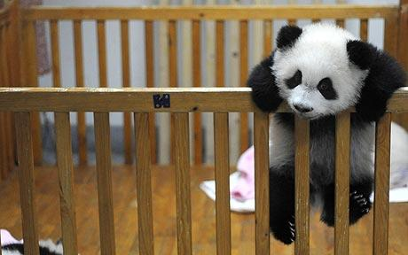 Cutest Baby Panda Ever!
