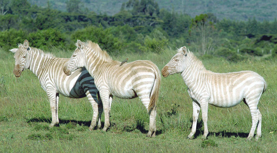 The Albino Zebra