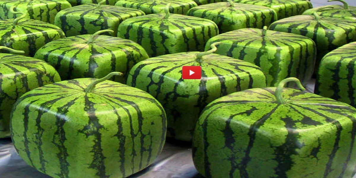 How Square Watermelons Are Made