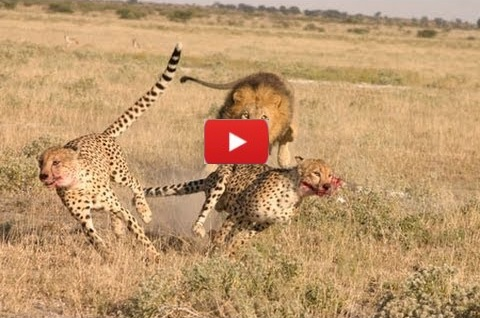 Lions Vs Cheetah