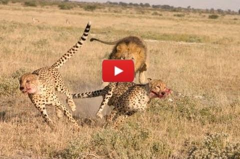 Lions Vs Cheetah