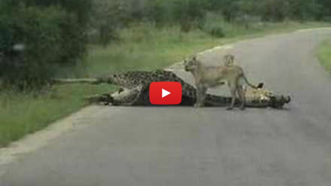 "First EVER ""Lion KILLS Giraffe"" Caught on Tape!"