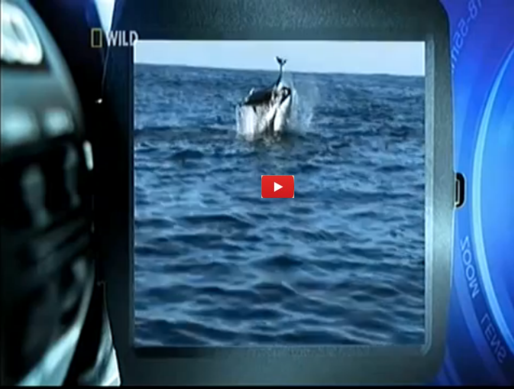 Orca Play With Dolphin Then Kill It