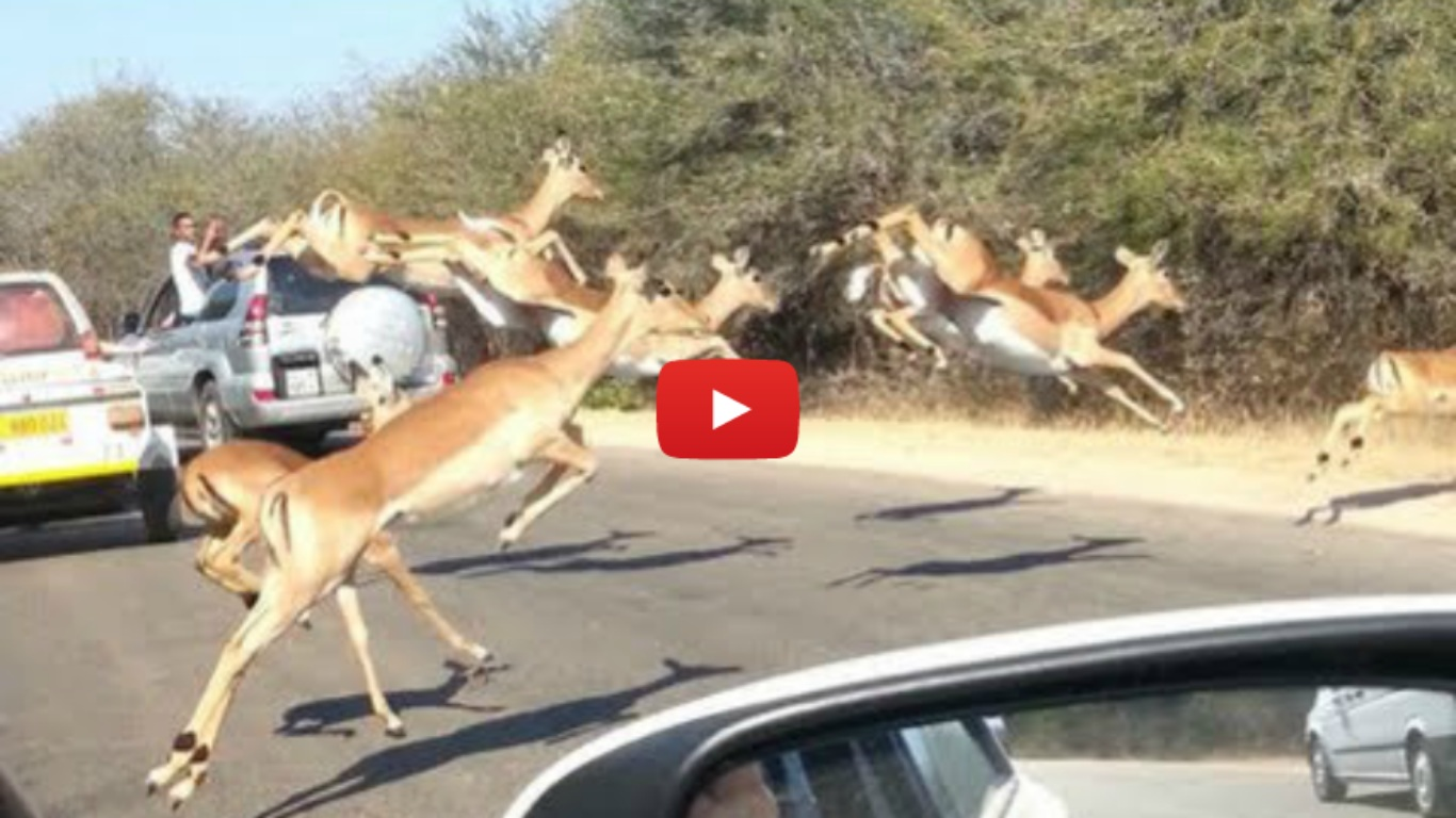 Cheetah Chases Impala Antelope Into Tourist's Car on Safari