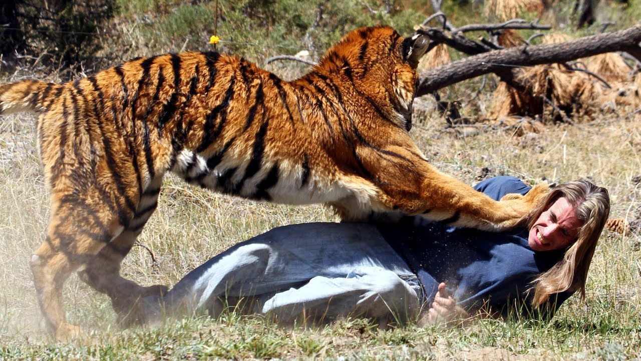 tiger attacks man